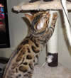 Bengal Cat Galleries