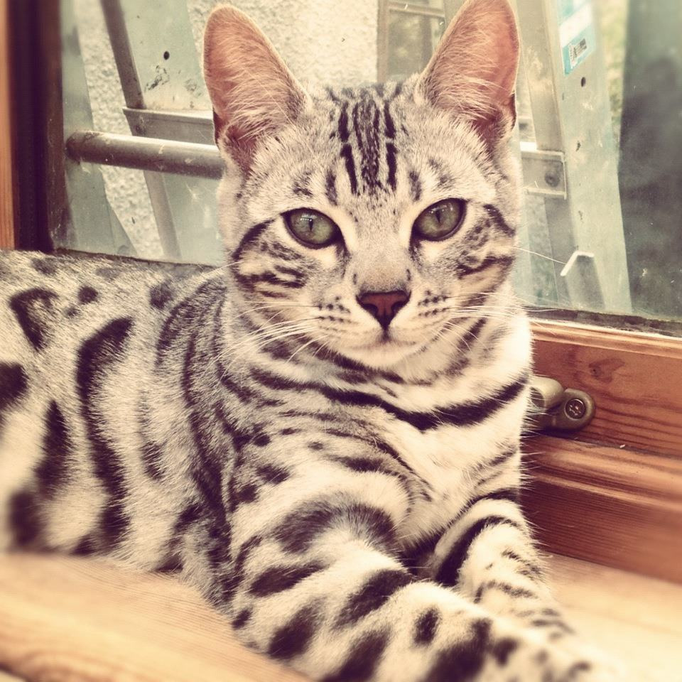 Bengal cats, Hereford, Cats Cradle Bengals. Tel:01568 720531